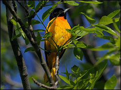 Baltimore Oriole — Photo by Chuck Tague