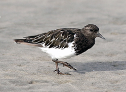 Black Turnstone photographed by Mike Fialkovich