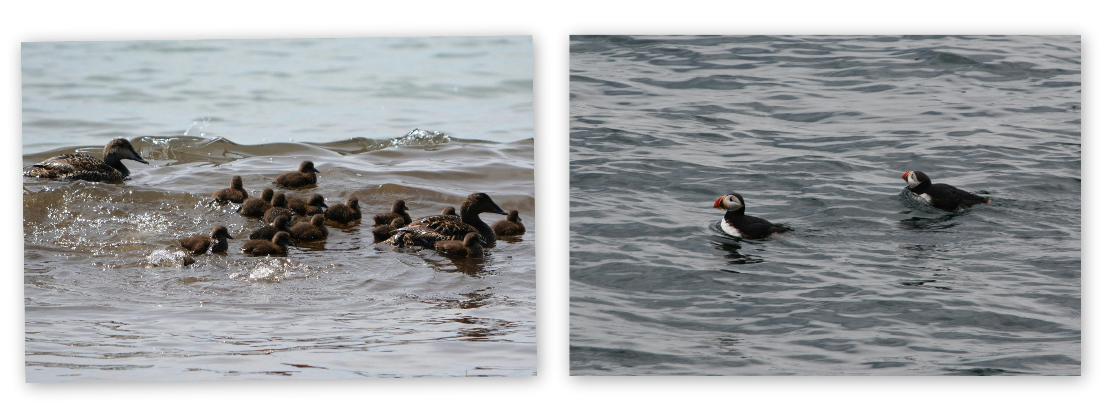 Eiders and Puffins