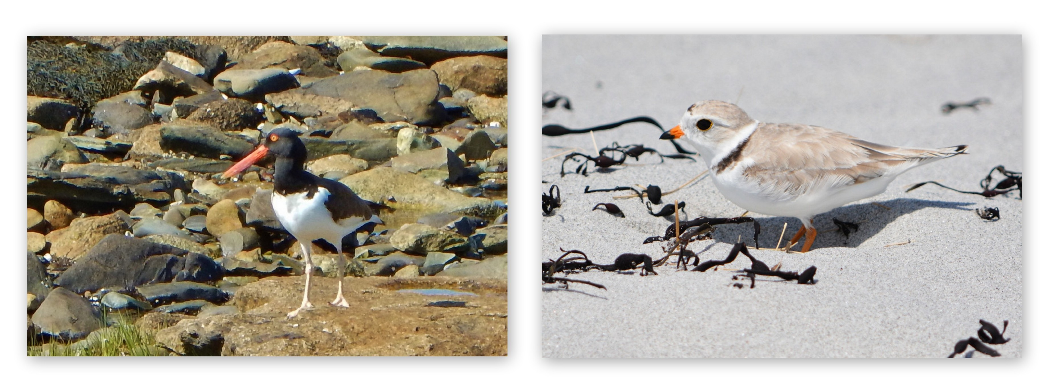 Oystercatcher and Piping Plover