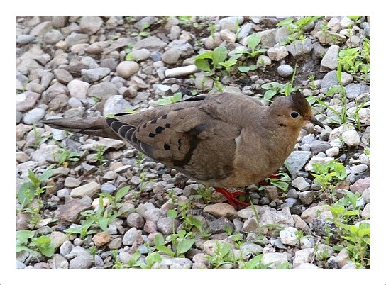 Melanistic Mourning Dove