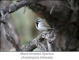 Black-throated Sprarrow