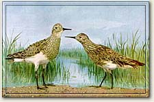 THE BIRD — the first documented Sharp-tailed Sandpiper                        in New Jersey
